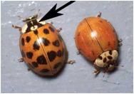 http://www.extension.umn.edu/garden/insects/find/multicolored-asian-lady-beetles/img/M1176-4.jpg