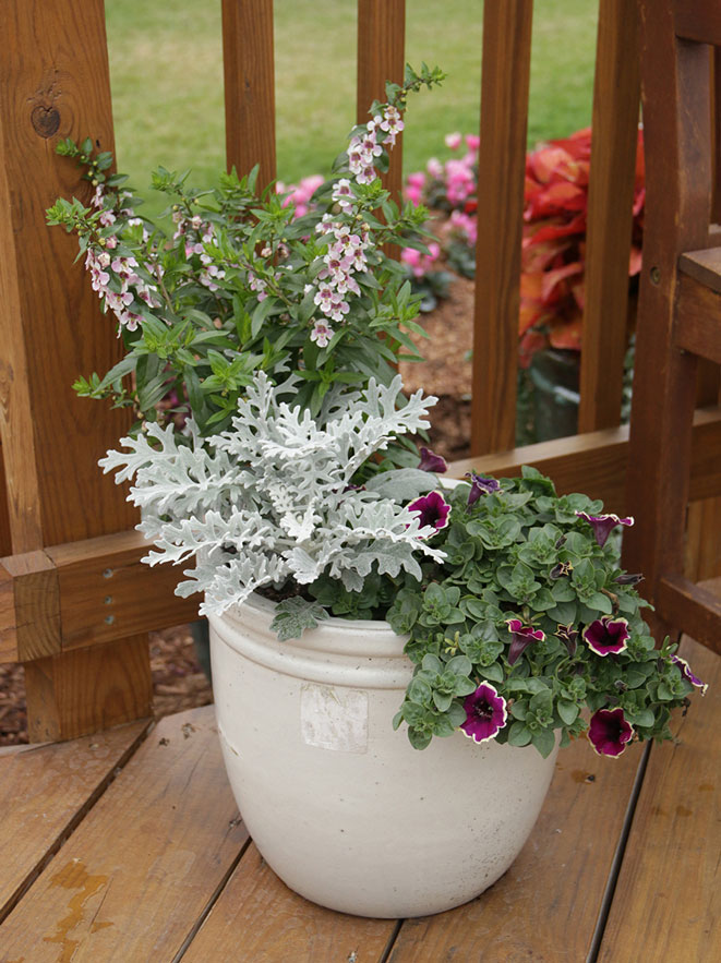 Pink angelonia, dusty miller, and petunia