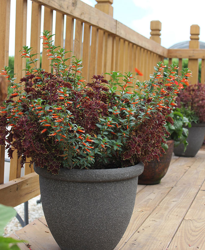Cigar plant and red coleus