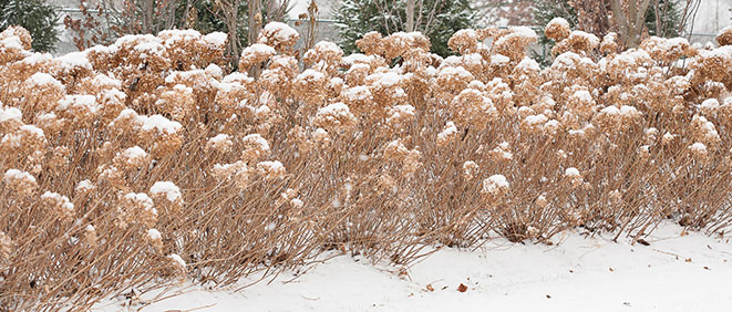 Incrediball Hydrangea in winter